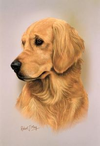 Golden Retriever Head Study Print RMDH81